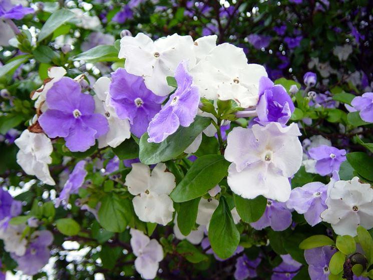 fiori brunfelsia