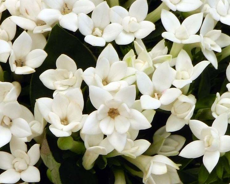 Bouvardia longiflora
