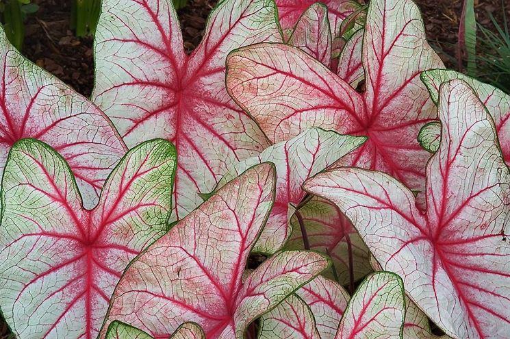 foglie Caladio