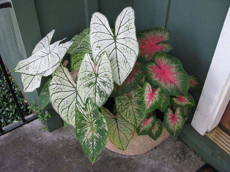 piante caladio