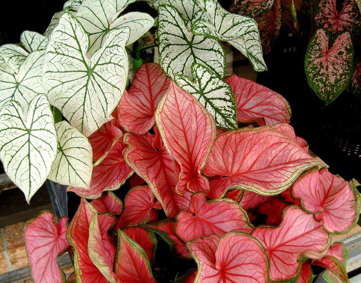 foglie caladium