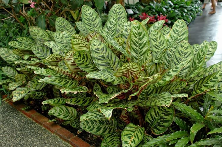 Calathea  makoyana piante