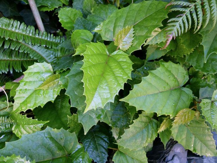Cisso foglie