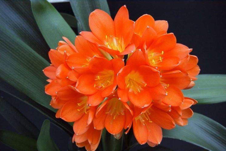 Clivia miniata fiori