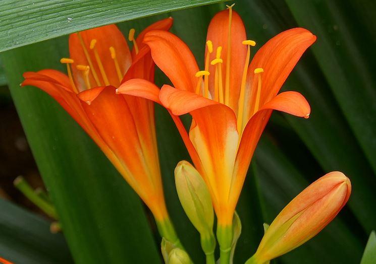 Clivia fiori