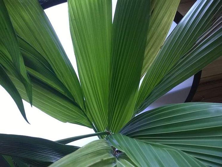 foglie Noce di cocco