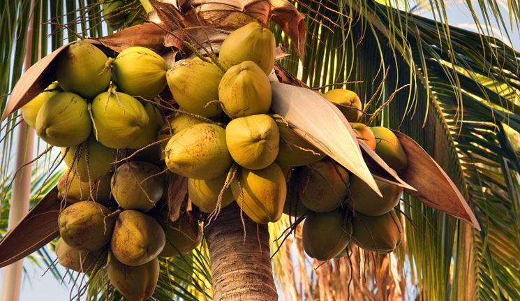 frutti cocos nucifera