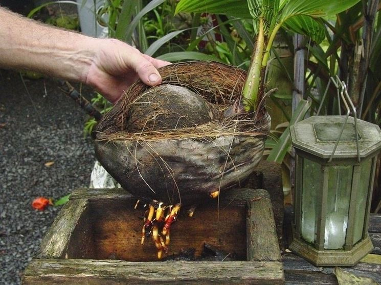 Noce di cocco cocos nucifera cocos nucifera piante - Radici palma ...