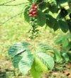 """Coffea arabica"""""""