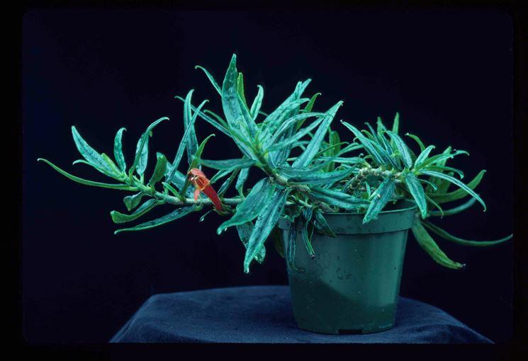 pianta Columnea