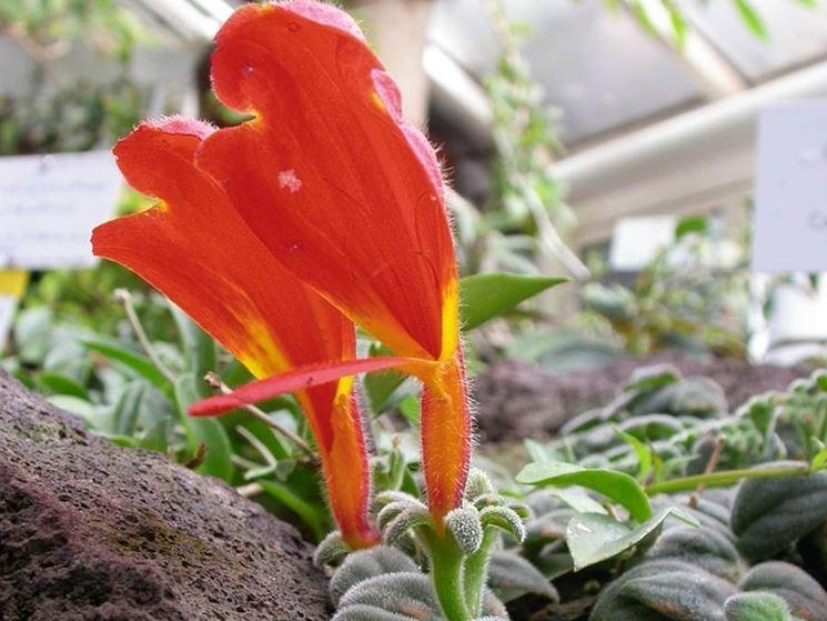 columnea pianta