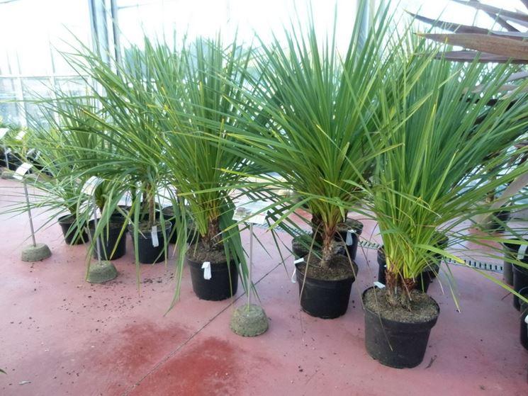 piante Cordyline