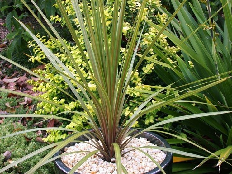 pianta cordilinea