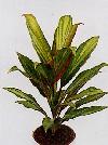 """Cordyline australis"""""""