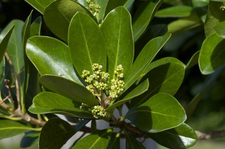 Cornycarpus laevigata