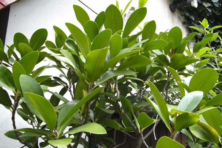 corinocarpo pianta
