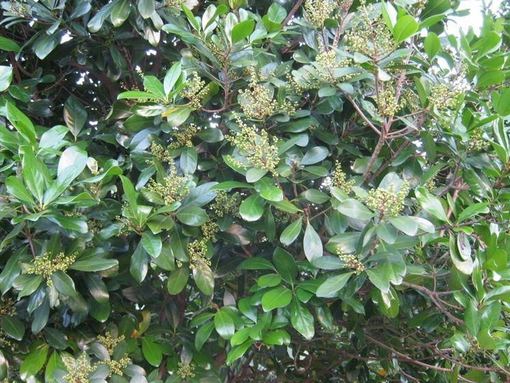 pianta corinocarpo