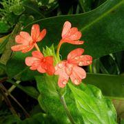 Crossandra nilotica