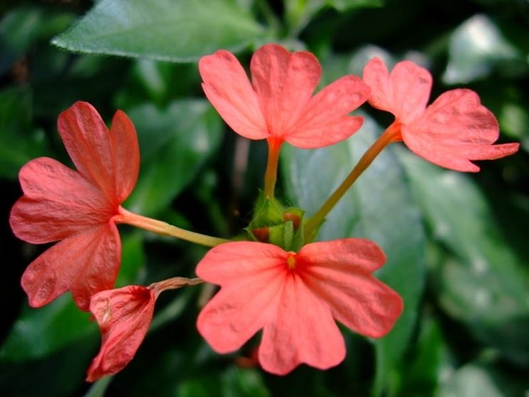 fiore crossandra