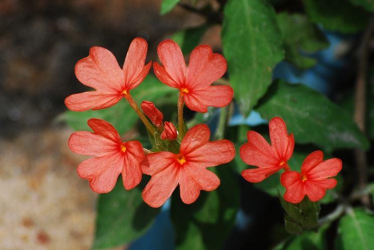 fiori crossandra
