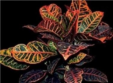 Croton - Codiaeum variegatum - Codiaeum variegatum ...