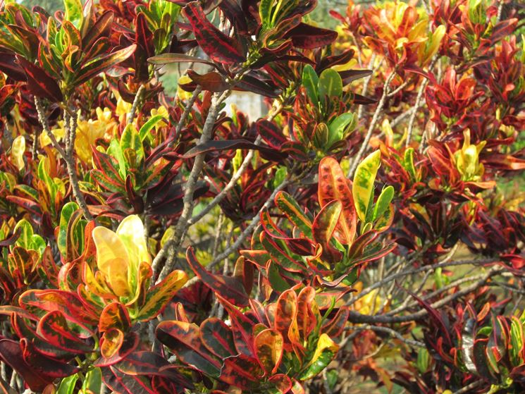 foglie croton