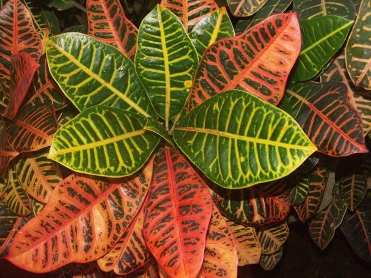 codiaeum pianta