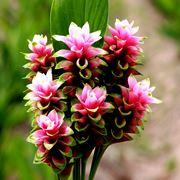 infiorescenza Curcuma alismatifolia