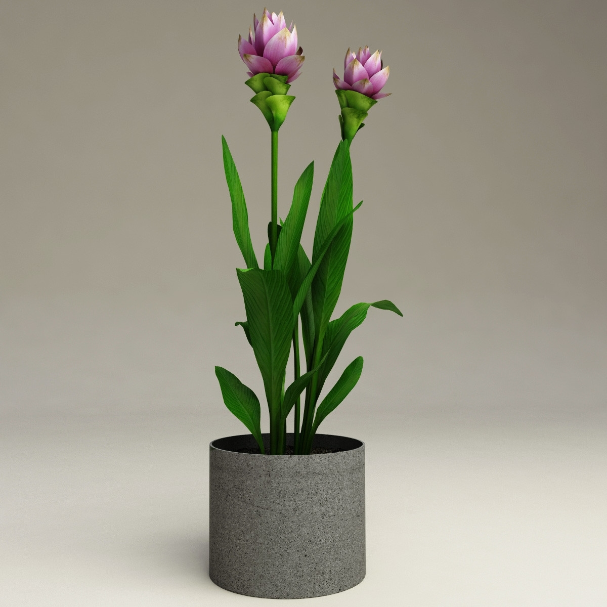 curcuma curcuma alismatifolia curcuma alismatifolia piante da interno curcuma curcuma. Black Bedroom Furniture Sets. Home Design Ideas