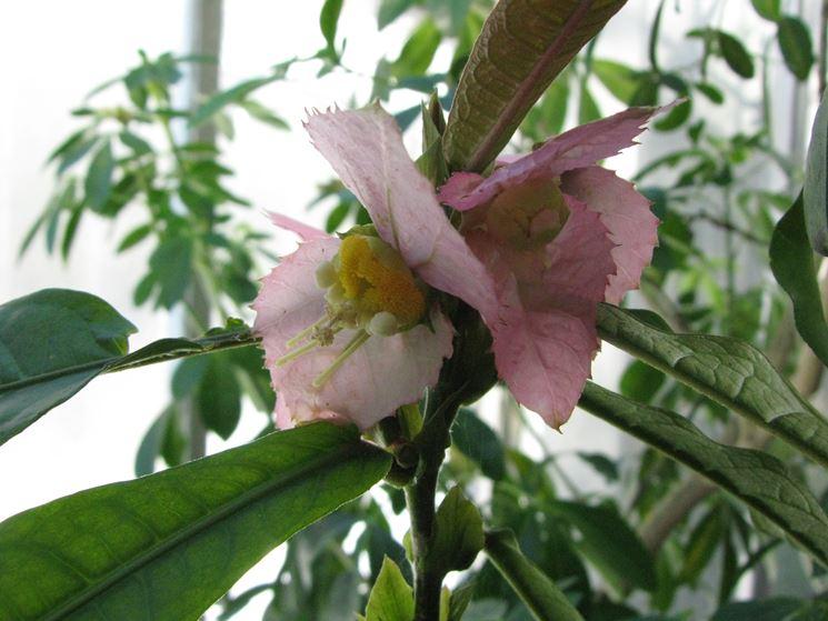 fiore Dalechampia