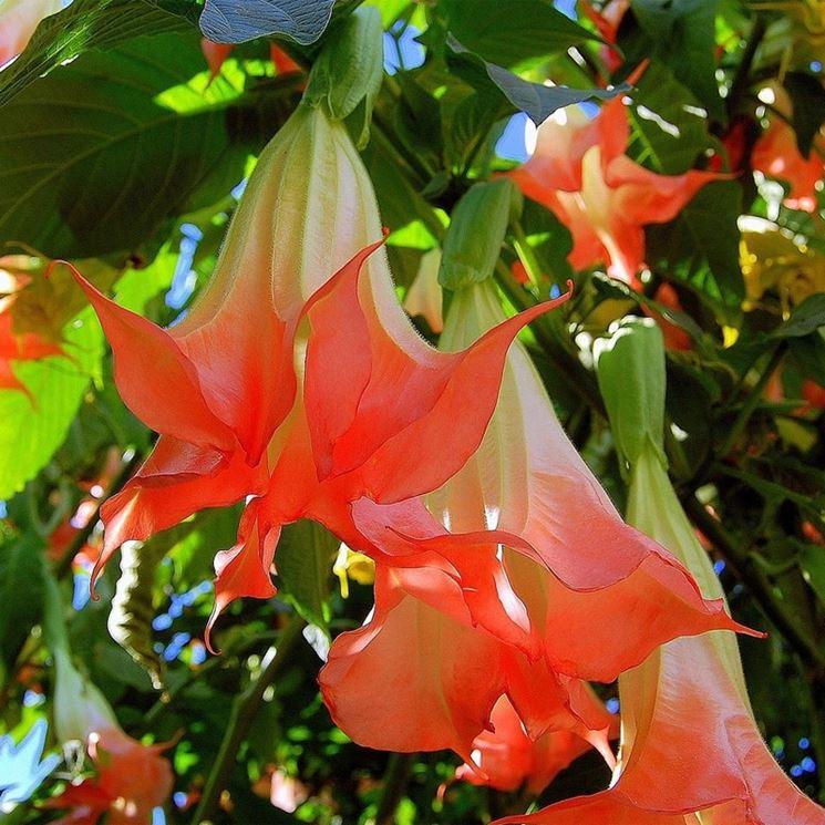 fiori Datura