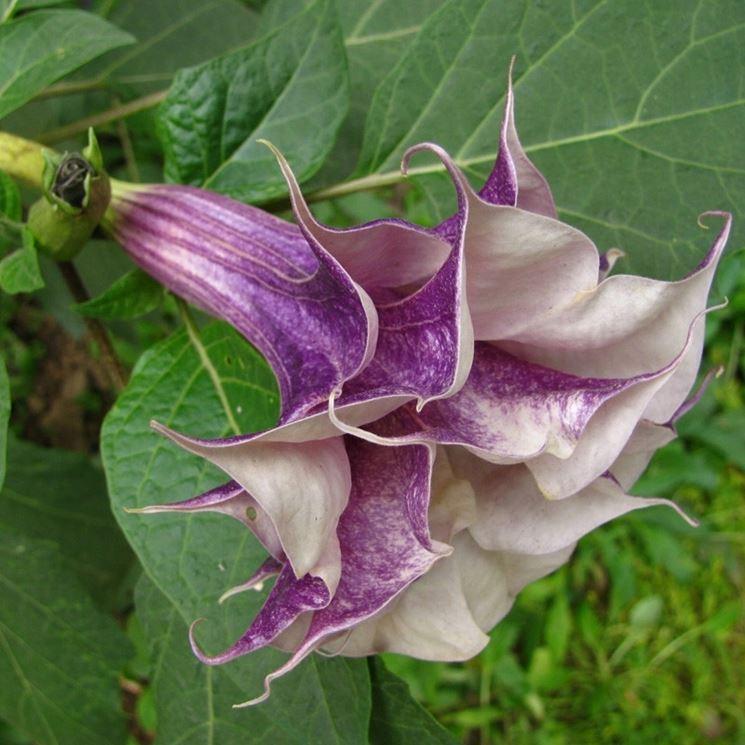 fiore di datura