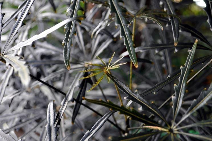 aralia elegantissima
