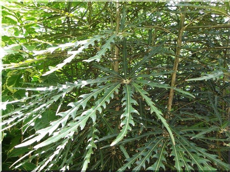 foglie aralia