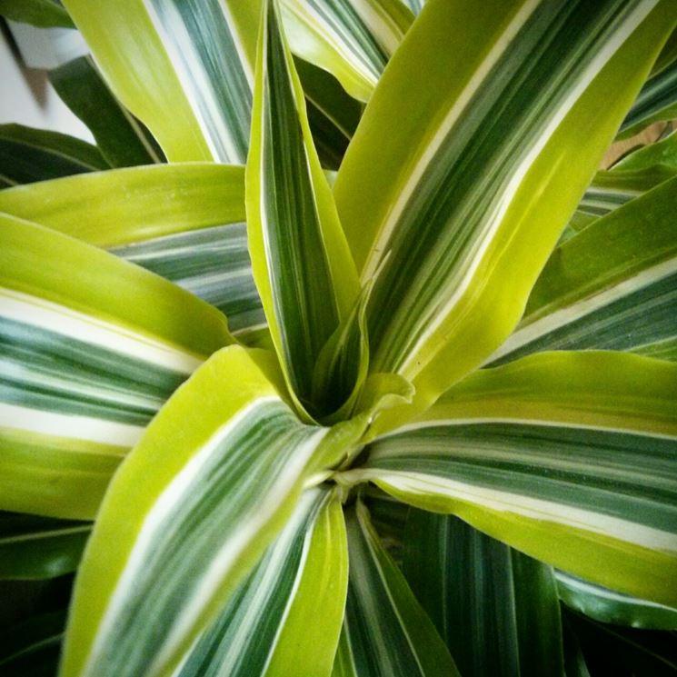 pianta Dracaena