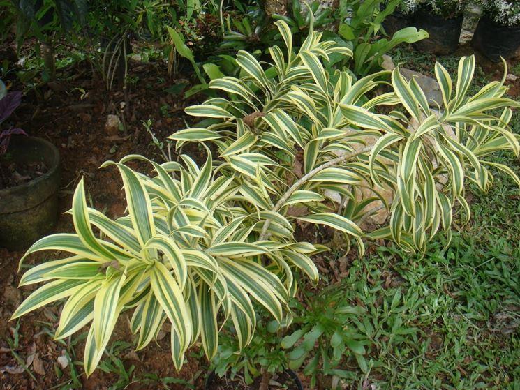 pianta dracena marginata