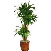 dracena pianta