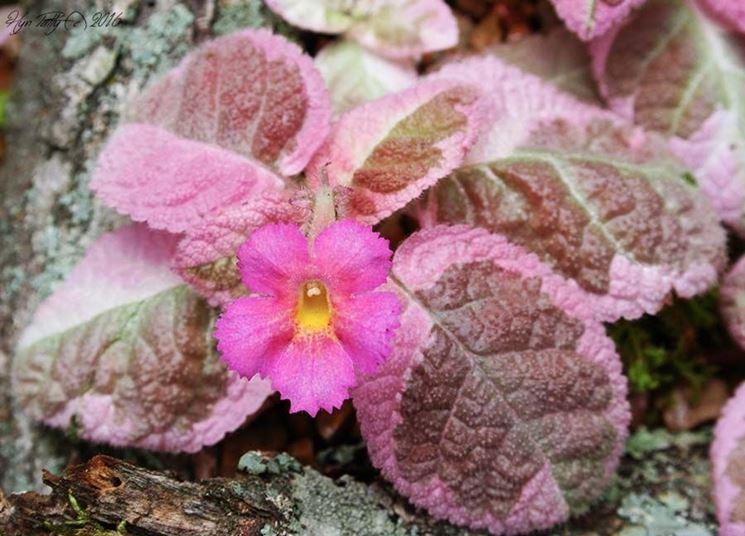 episcia rosa