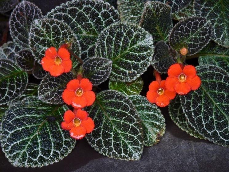 piante episcia