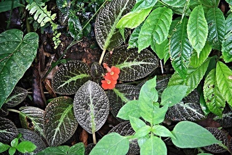 episcia fiori