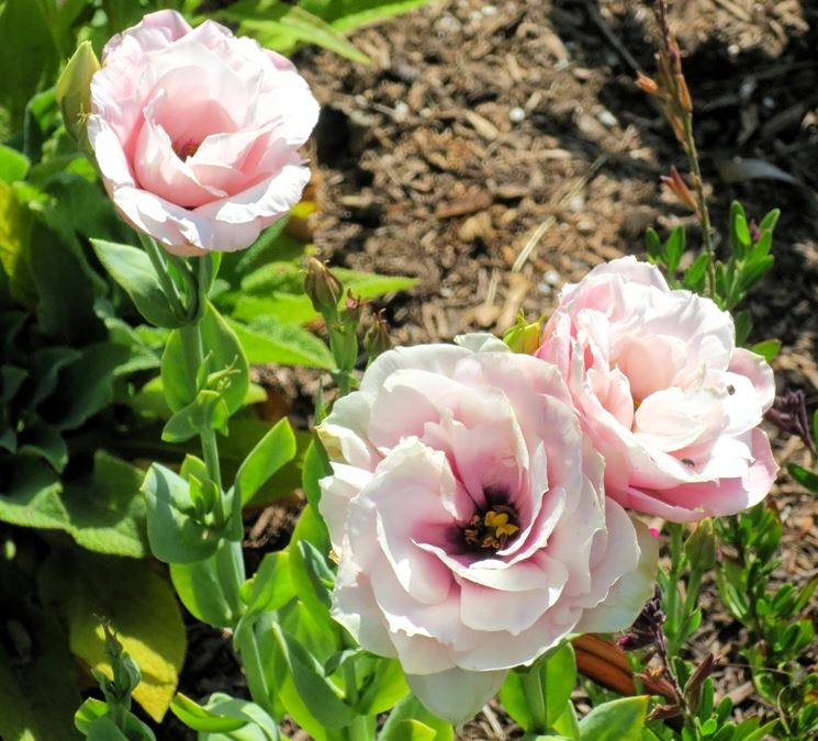 eustoma fiori