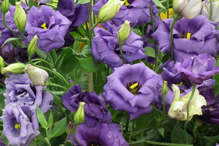 fiori Esutoma