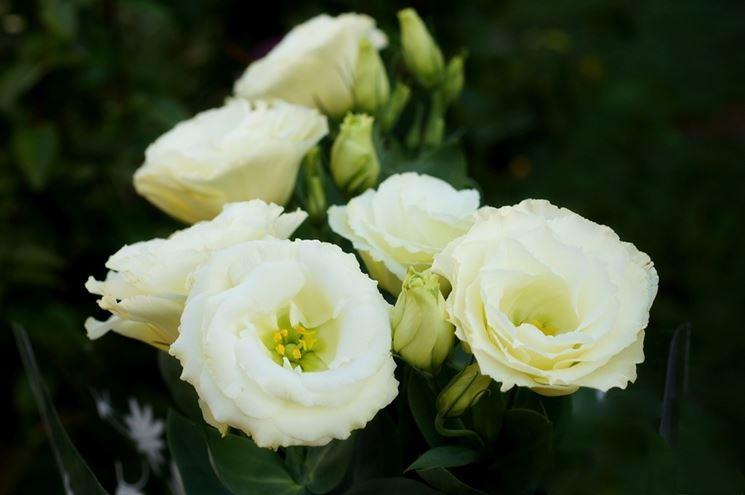 eustoma fiore