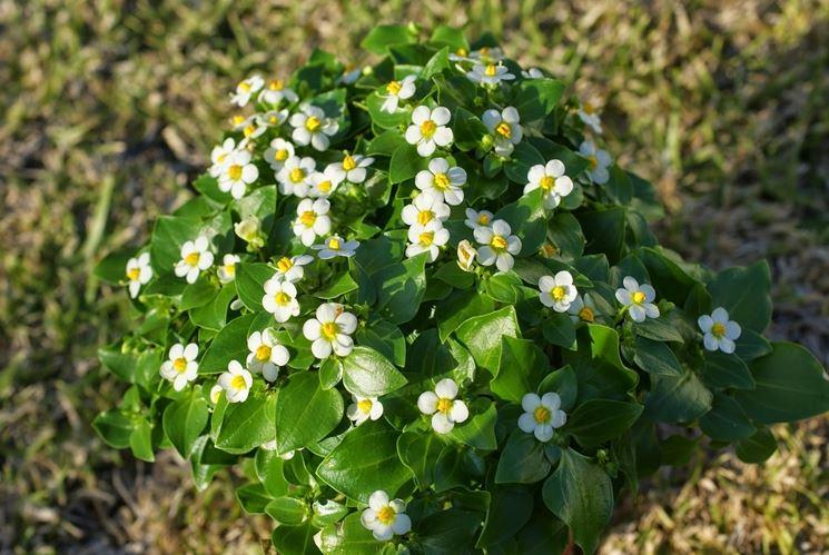 exacum affine pianta