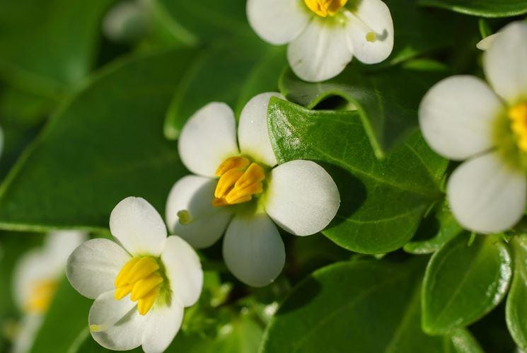 fiori exacum