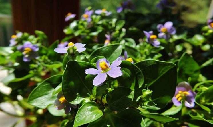 exacum fiori