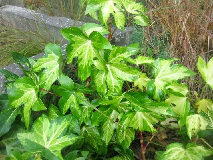 foglie falsa edera