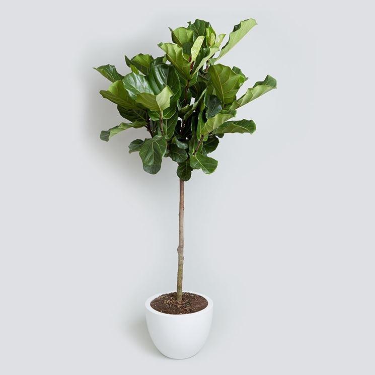Ficus lyrata ficus lyrata piante da interno ficus for Piante da interno