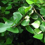 foglie ficus