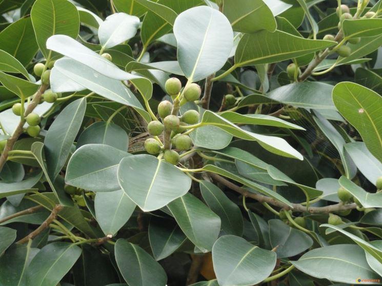 Ficus australis